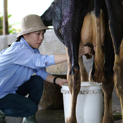 Sukabumi Cow Milking